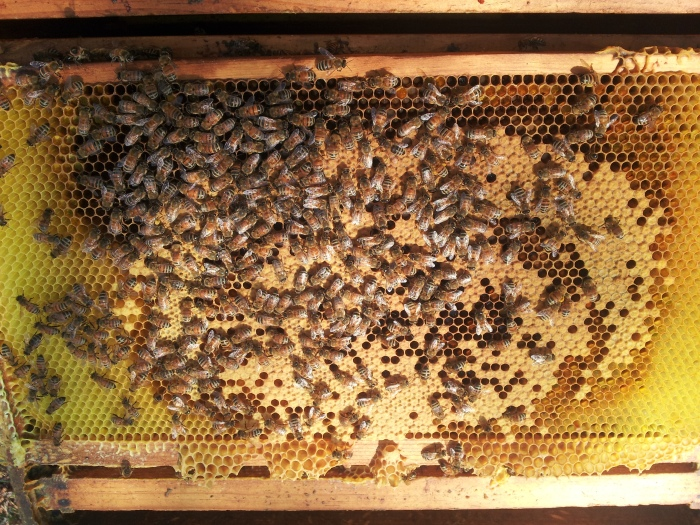Beautiful capped brood.  Good sign of a laying queen and a healthy hive.