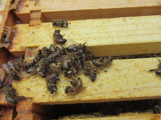The cluster was small and intact.  To the right of the dead bees is a small dark dot that is a varroa mite.